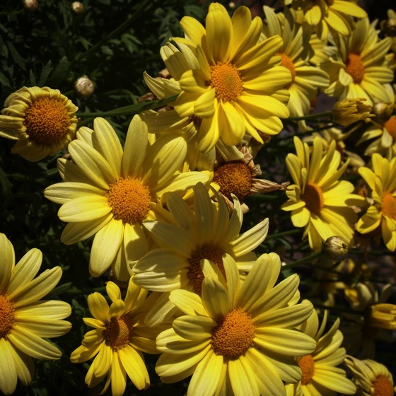 Shining Yellow Faces #flowers #garden #plants #yellow #daisies