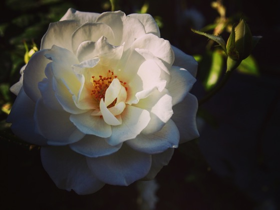 Winter Rose, Palm Springs, CA #flowers #rose #garden #nature #plants