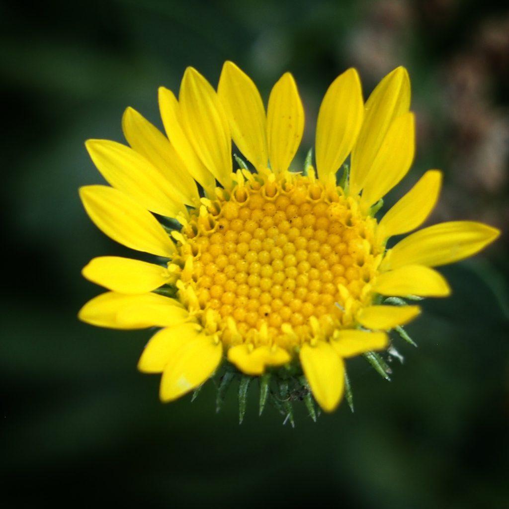 Yellow Flower Closeup