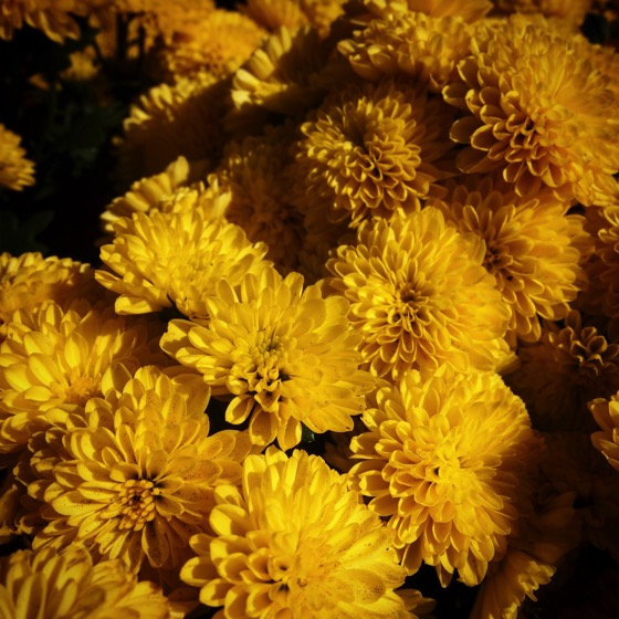 Yellow Mums #flowers #chrysanthemum #garden #yellow #nature #outdoors
