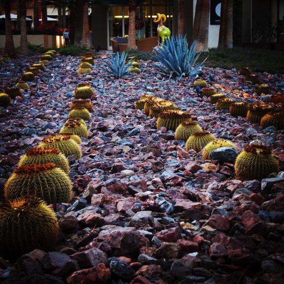 Barrel Cactus Planting