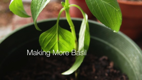 Making More Basil from A Gardener's Notebook