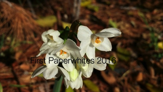 First Paperwhites 2016 - A Minute in the Garden 51 from A Gardener's Notebook