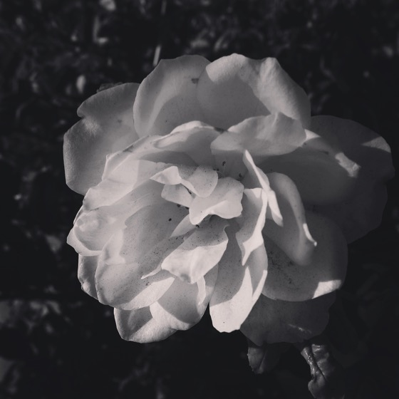 White Rose in Black and White #blackandwhite #blackandwhitephotography #garden #rose #roses #bnw_drama #bnw_captures #bnw_society #bnw_life #ig_garden #flowersofinstagram #flowerstagram #treestagram #rainbow_petals #ig_naturelovers #ig_naturepictures #ig_naturesbest @24earth