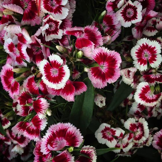 Dianthus 'Diabunda Red Picotee'