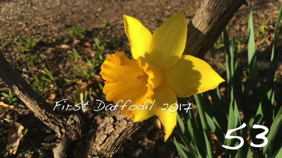 First Daffodil 2017 -- A Minute in the Garden 53 from A Gardener's Notebook