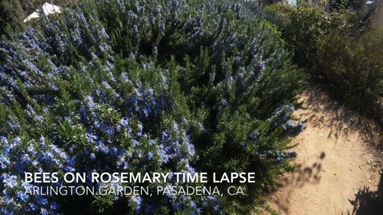 Bee on Rosemary Time Lapse from Arlington Garden, Pasadena, California