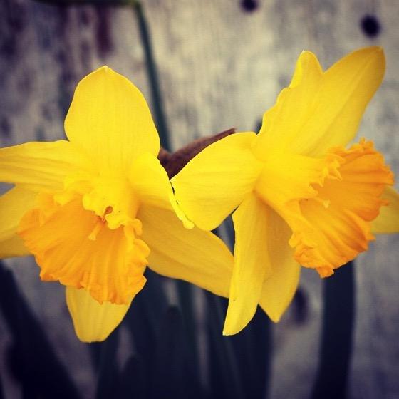 🌼 Daffodil Twins