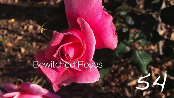Bewitched Roses -- A Minute in the Garden 54 from A Gardener's Notebook