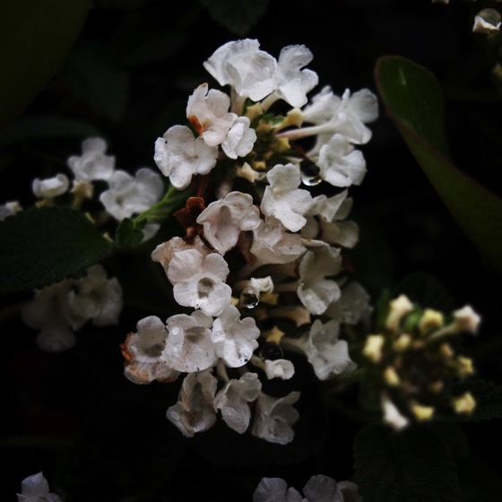 White Lantana Closeup