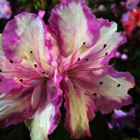 Bicolor Azalea