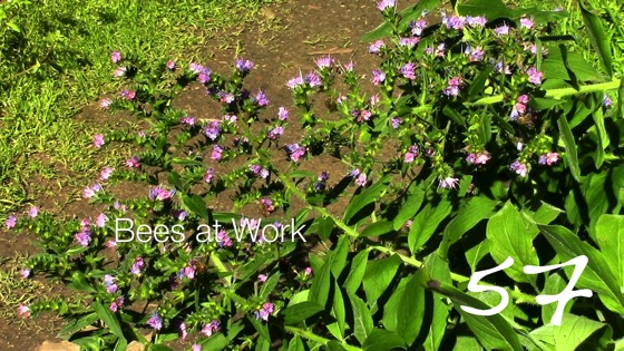 Bees at Work -- A Minute in the Garden 57 from A Gardener's Notebook