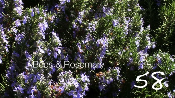 Bees and Rosemary -- A Minute in the Garden 58 from A Gardener's Notebook