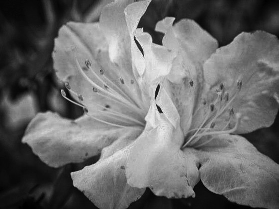 White Azaleas in Black and White