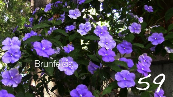 Brunfelsia (Yesterday, Today & Tomorrow) -- A Minute in the Garden 59 from A Gardener's Notebook