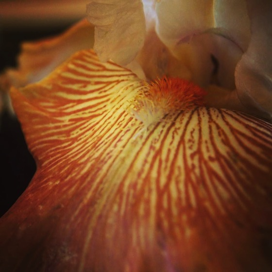 Bearded Iris Closeup