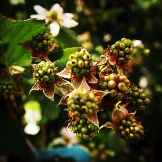 Blackberries soon