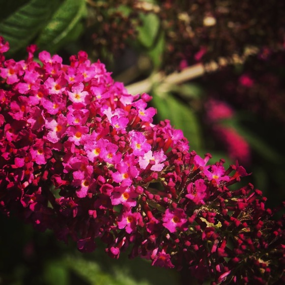 Gather ye (Buddleia) while ye may,…