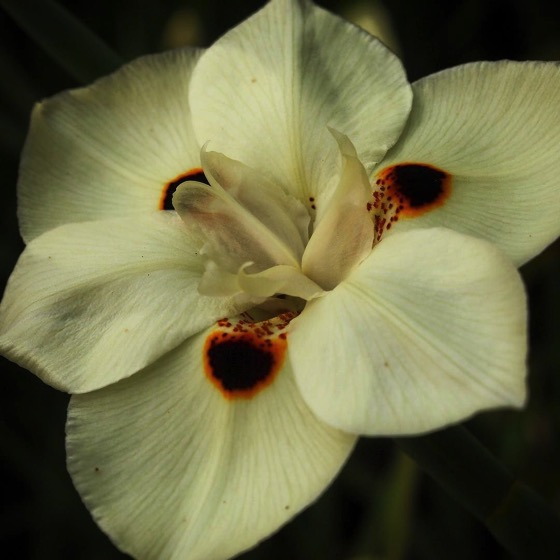 Fortnight Lily Flower Closeup