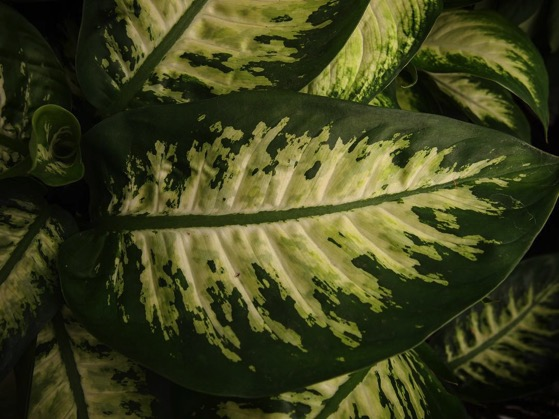 Variegation on houseplant leaves