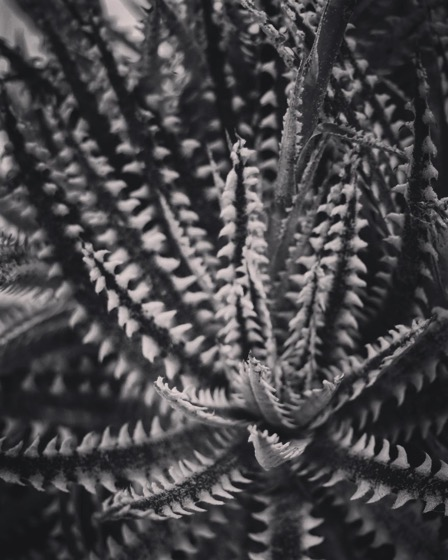Abstracted Succulent In Black and White via Instagram