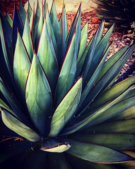 Dramatic Agave in the Neighborhood