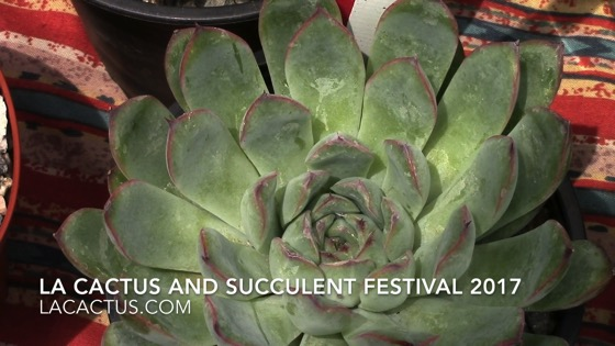 Echeveria setosa - Los Angeles Cactus and Succulent Society Festival 2017