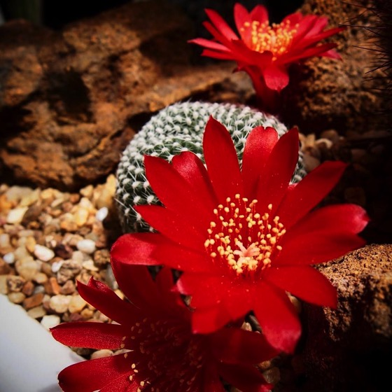 Little Red Cactus Flowers 🌺 🌺🌺