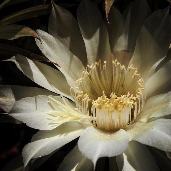 White Cactus Flower Closeup