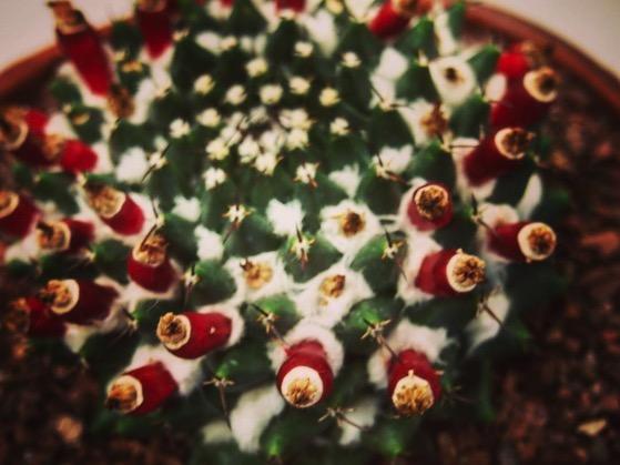Mammillaria densispina  via Instagram