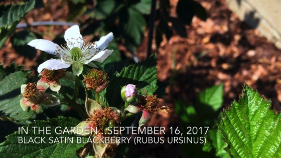 In the garden...September 16, 2017: Black Satin Blackberry (Rubus Ursinus) [Video]