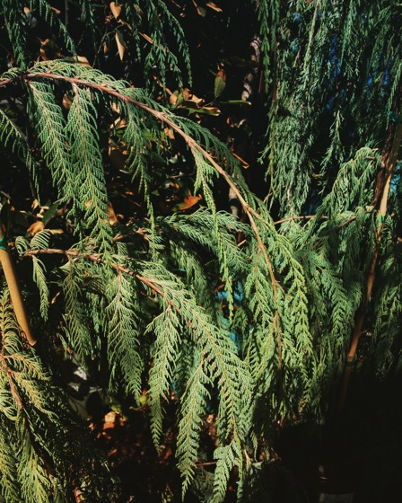 Interesting Plant: Cupressus cashmeriana