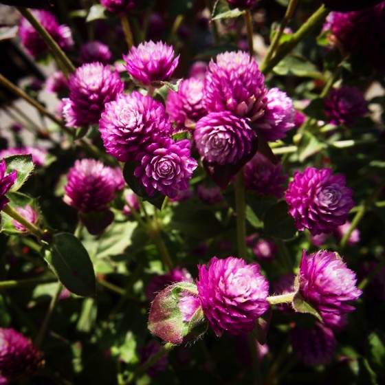 Gomphrena 'Pinball Purple' via Instagram