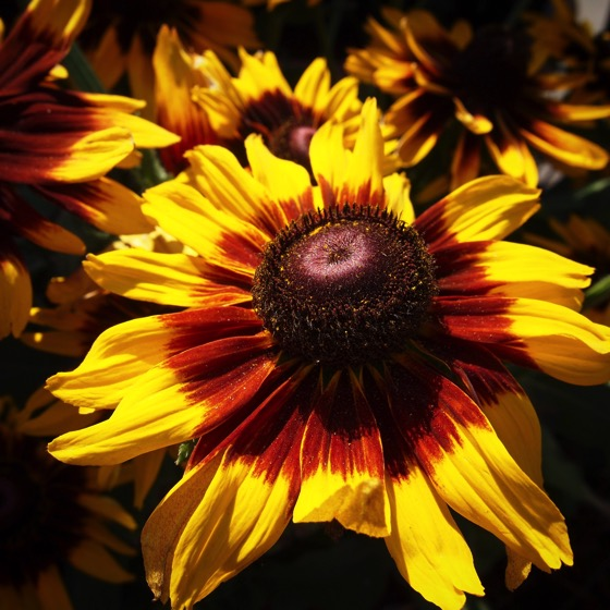 Rudbeckia in Fall Colors