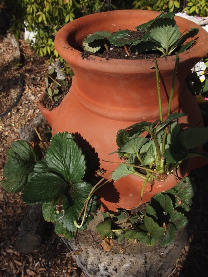 Strawberry pot 3