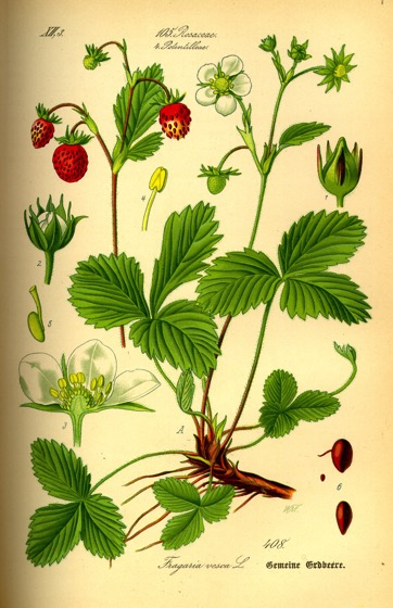 Interesting Plant: Alpine Strawberries (Fragaria vesca)