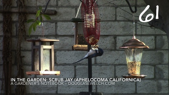 California Scrub Jay (Aphelocoma californica ) -- A Minute in the Garden 61 from A Gardener's Notebook