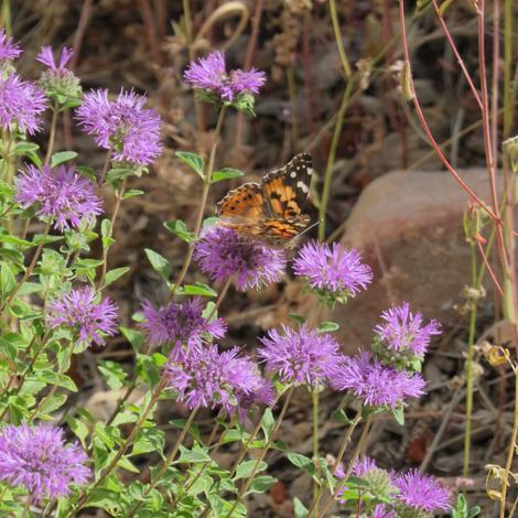 Interesting Plant: Butterfly Mint Bush (Monardella subglabra)