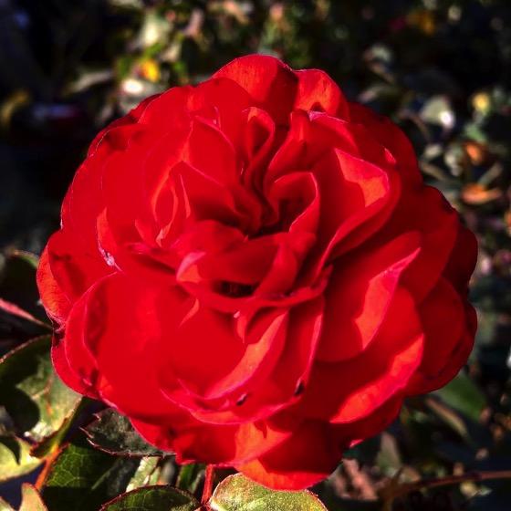 A Rose via Instagram
