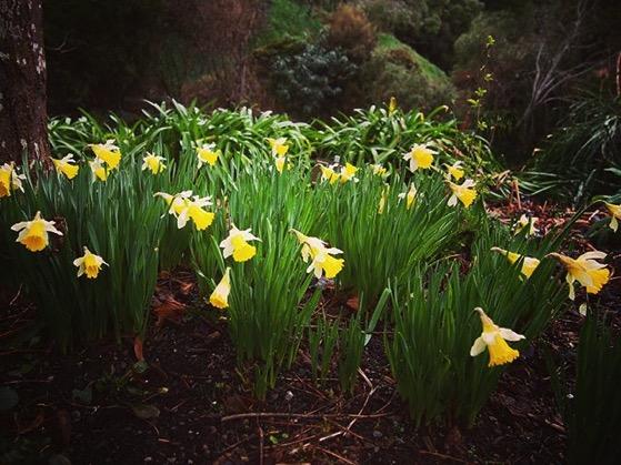 Dunedin Daffodils via Instagram