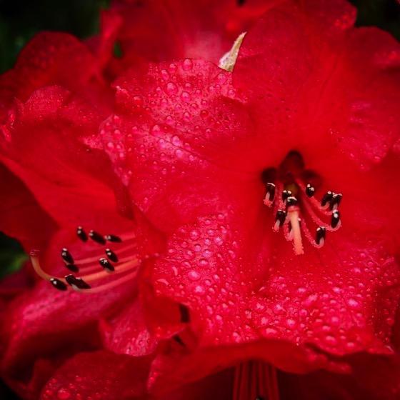 Rhododendron with raindrops, Dunedin Botanic Garden, Dunedin, New Zealand via Instagram