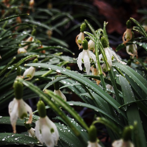 Snowdrops (Galanthus) via Instagram