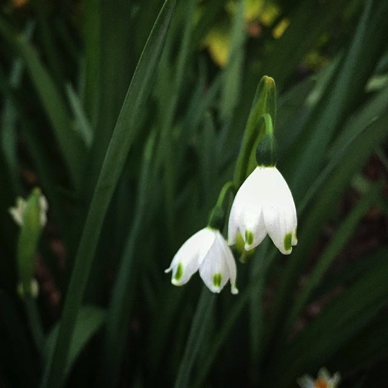 Flowering Now: First Snowflakes (Leucojum) of 2018