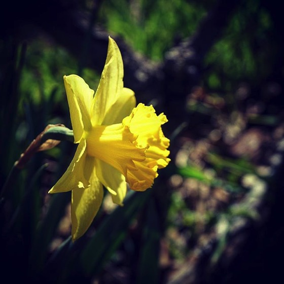 Flowering Now: Daffodil