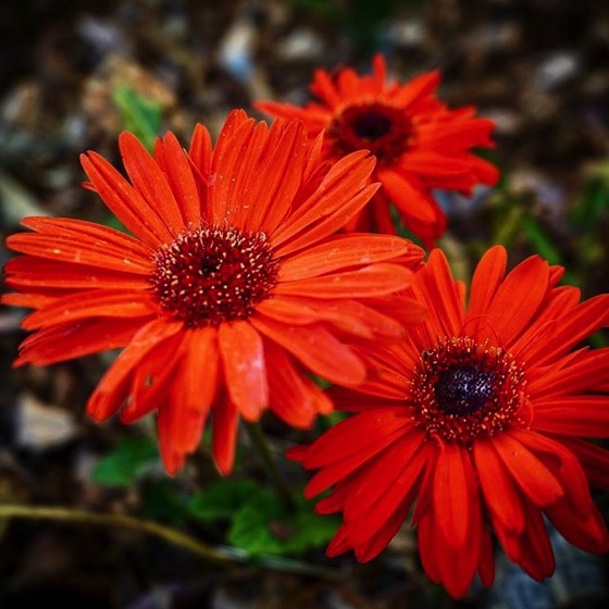 Gebera Daisies In The Garden via Instagram