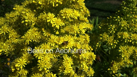 Bees on Aeonium Flowers - A Minute In The Garden 63 from A Gardener's Notebook [Video] (1:00)