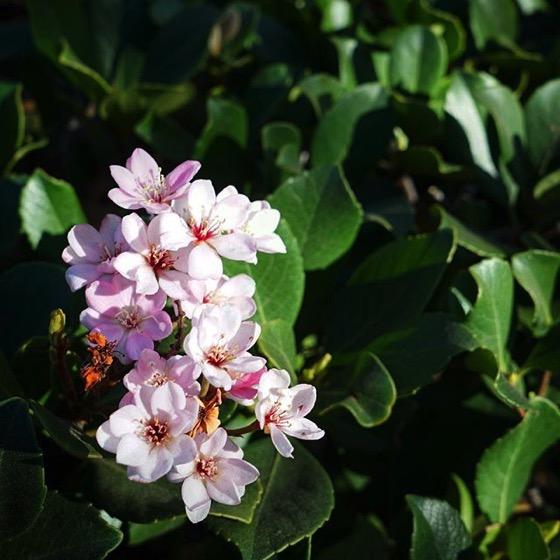 Rhaphiolepis Flowers In The Neighborhood via My Instagram