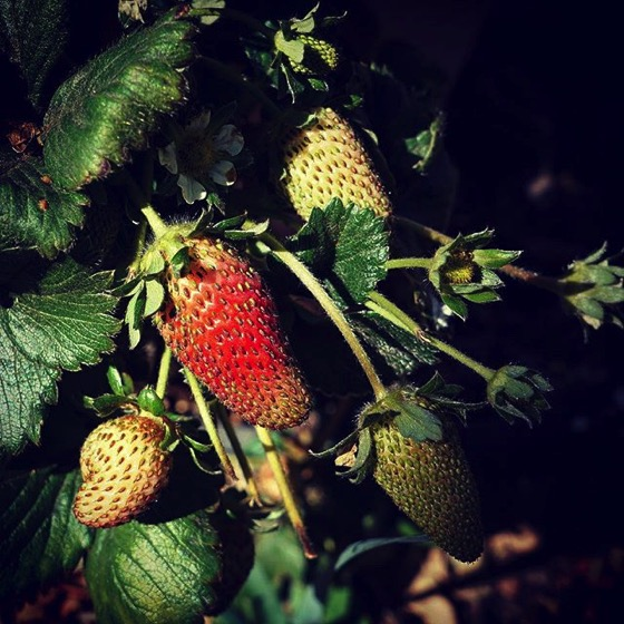 Strawberries via My instagram