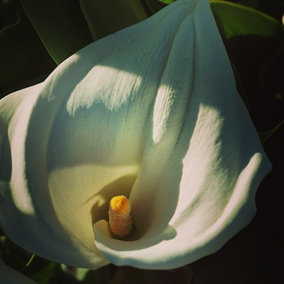 Calla Lily Flower (Color) via My Instagram