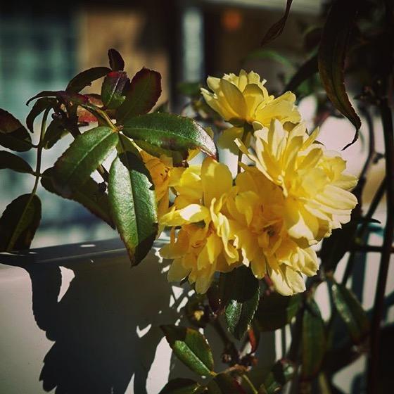 Lady Banks' Rose (Rosa banksiae) via My Instagram
